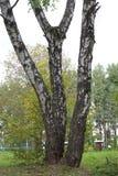 与白色树干的三个桦树在美丽如画的森林公园 免版税库存照片