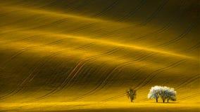 与白色树的春天波浪黄色油菜籽领域和波浪抽象风景样式 库存图片