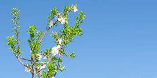与白色桃红色花的春天开花的树和叶子反对 免版税库存图片