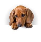 与白色横幅的逗人喜爱的达克斯猎犬小狗文本的 图库摄影