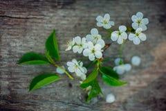 与白色樱花和土气木桌的春天背景复活节装饰的 库存照片