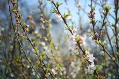 与白色樱花的几个分支 免版税图库摄影