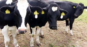 与白色母牛的黑色在领域 免版税库存照片