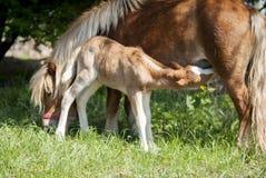 与白色火焰的红色驹小马在他的母亲小马他的顶头吃牛奶  图库摄影