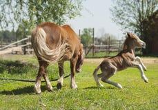 与白色火焰的红色驹小马在他的跳跃在绿草的头 免版税库存图片