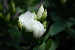 与白色玫瑰的开花分支 库存图片