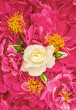 与白色玫瑰的桃红色牡丹花 背景细部图花卉向量 免版税库存照片