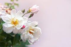 与白色玫瑰的葡萄酒卡片在桃红色背景 免版税库存图片