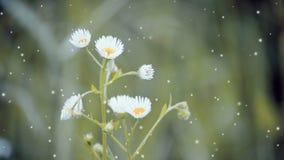 与白色瓣和黄色雄芯花蕊的花 影视素材