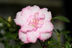 与白色瓣的一朵杜娟花花有桃红色边缘的 免版税库存图片