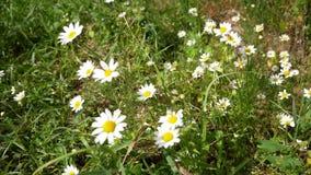 与白色瓣的雏菊开花摇摆从风 小附近蜜蜂飞行 股票录像