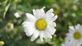 与白色瓣的雏菊花 开花的春黄菊在草甸增长以植物和草为背景 股票视频