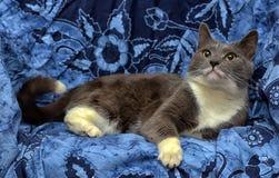 与白色的一只美丽的灰色猫 库存图片