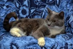与白色的一只美丽的灰色猫 免版税库存照片