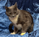 与白色的一只美丽的灰色猫 免版税库存图片