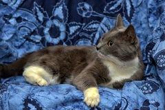 与白色的一只美丽的灰色猫 图库摄影