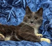 与白色的一只美丽的灰色猫 库存照片