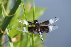 与白色的布朗蜻蜓在翼技巧  免版税库存图片