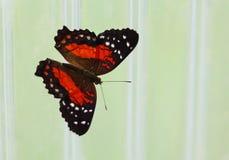 与白色的明亮的红色指向蝴蝶坐墙壁 免版税库存照片