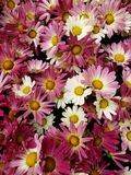 与白色的紫色雏菊花在春季、背景和纹理的一个植物园里 库存照片