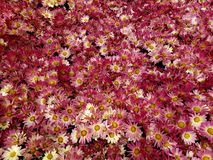 与白色的紫色雏菊花在春季的一个庭院里 库存图片