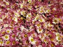 与白色的紫色雏菊花在春季的一个庭院里 免版税库存照片