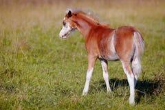 与白色的红色在牧场地的一只驹。 免版税库存图片