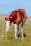 与白色的红色在草甸的一只驹。 库存图片