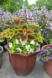 与白色秋海棠的盆的锦紫苏 免版税库存图片