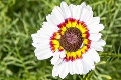 与白色红色黄色开花的花 免版税库存图片