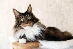 与白色缅因树狸猫的布朗平纹在猫树顶部 免版税库存照片