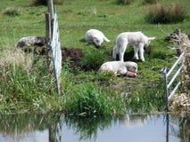与白色羊羔的黑羊羔 免版税库存照片