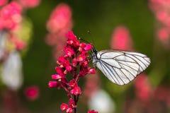 与白色翼的Butterflie坐植物的词根 库存图片