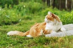 与白色胸口的红发猫 免版税库存图片