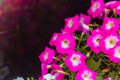 与白色花粉和拷贝空间的美丽的桃红色喇叭花花 喇叭花是我们的一张最普遍的夏天地貌面,花 库存照片