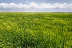 与白色蓬松云彩的轻的象草的领域 免版税库存图片