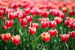 与白色边界-浅景深的红色郁金香 库存图片