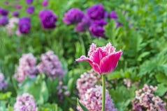 与白色边缘的桃红色郁金香 与的Gesner的郁金香被装饰的 库存图片
