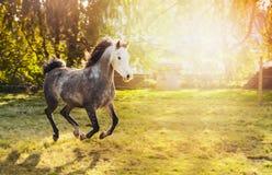 与白色运行在有树的晴朗的牧场地的头和黑鬃毛的幼小灰色公马 库存照片