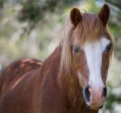 与白色金刚石的栗子马在面孔 免版税图库摄影