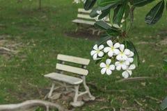 与白色长凳的占城花 库存照片