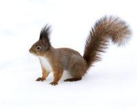 与白色雪的灰鼠特写镜头在冬天 免版税库存图片