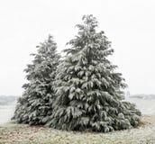 与白色霜的雪松 库存照片