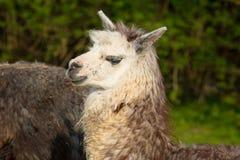 与白色面孔和灰棕色颜色的逗人喜爱的羊魄在外形 免版税库存照片