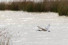与白色飞行a的全身羽毛和黑头的澳大利亚白色朱鹭 免版税库存照片