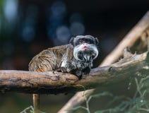与白色髭的有胡子的皇帝绢毛猴坐分支 逗人喜爱的滑稽的猴子 免版税库存照片