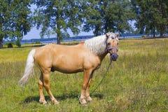 与白色鬃毛的浅褐色的马在湖附近的绿色草甸 图库摄影