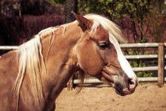 与白色鬃毛的美丽的棕色马 库存照片