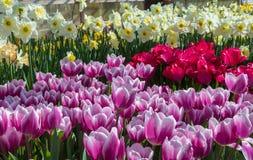 与白色黄水仙的紫色和红色郁金香 免版税库存图片