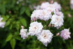 与白色,黄色花(罗莎Malvern小山)的灌木 库存图片